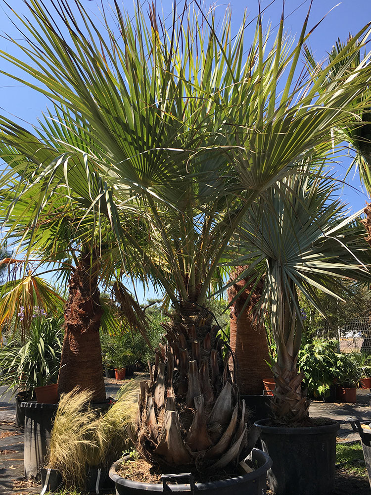 Palmiers-du-Mexique-Brahea-Armata