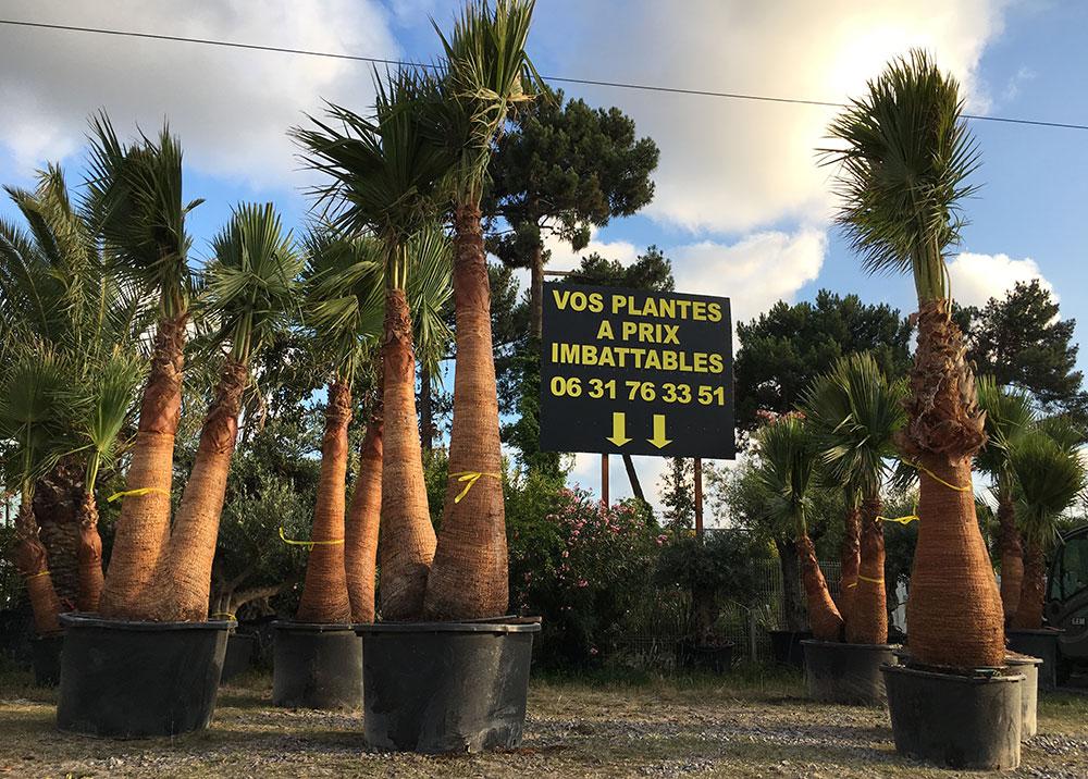 palmiers-washingtonia