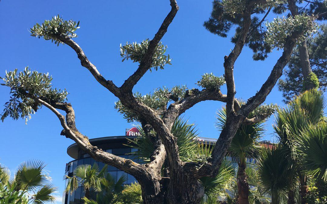 Bel arrivage de palmiers, oliviers, diverses plantes méditerranéennes…