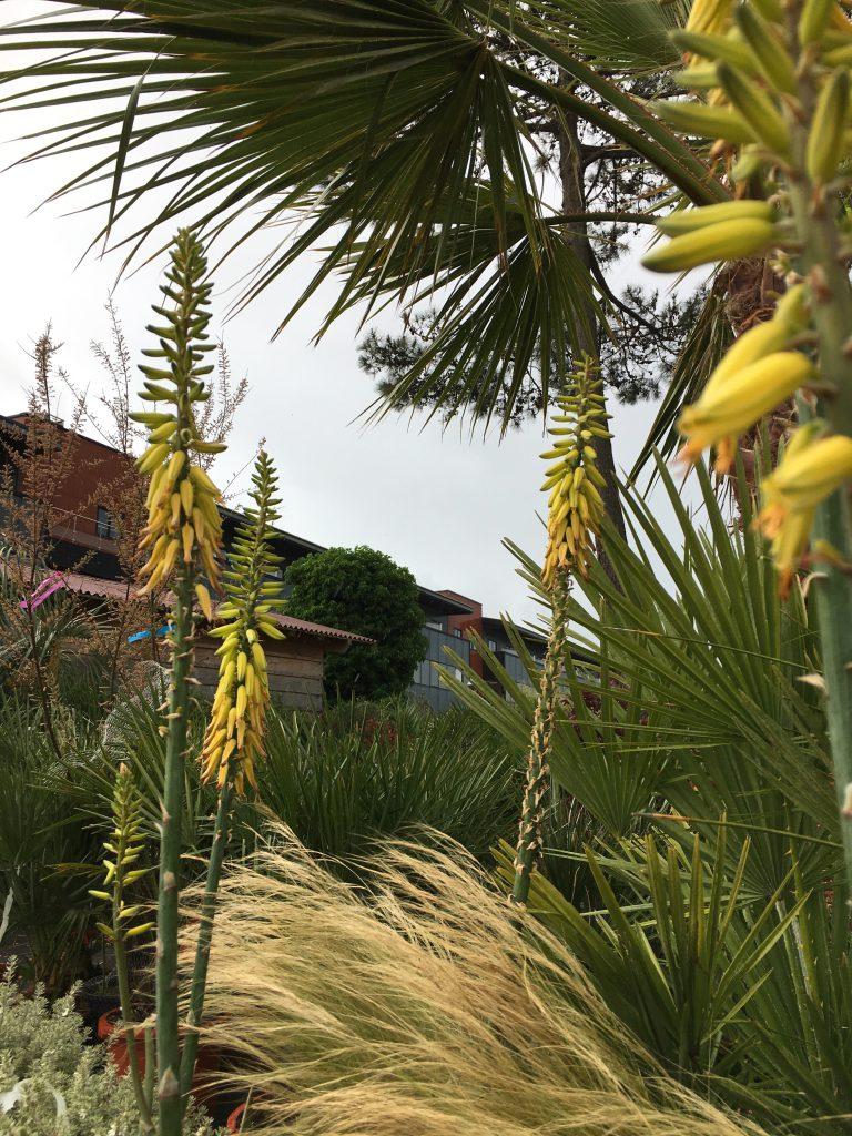 Aloe vera en fleur arcachon