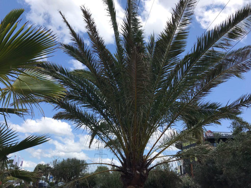 palmier des Canaries Arcachon