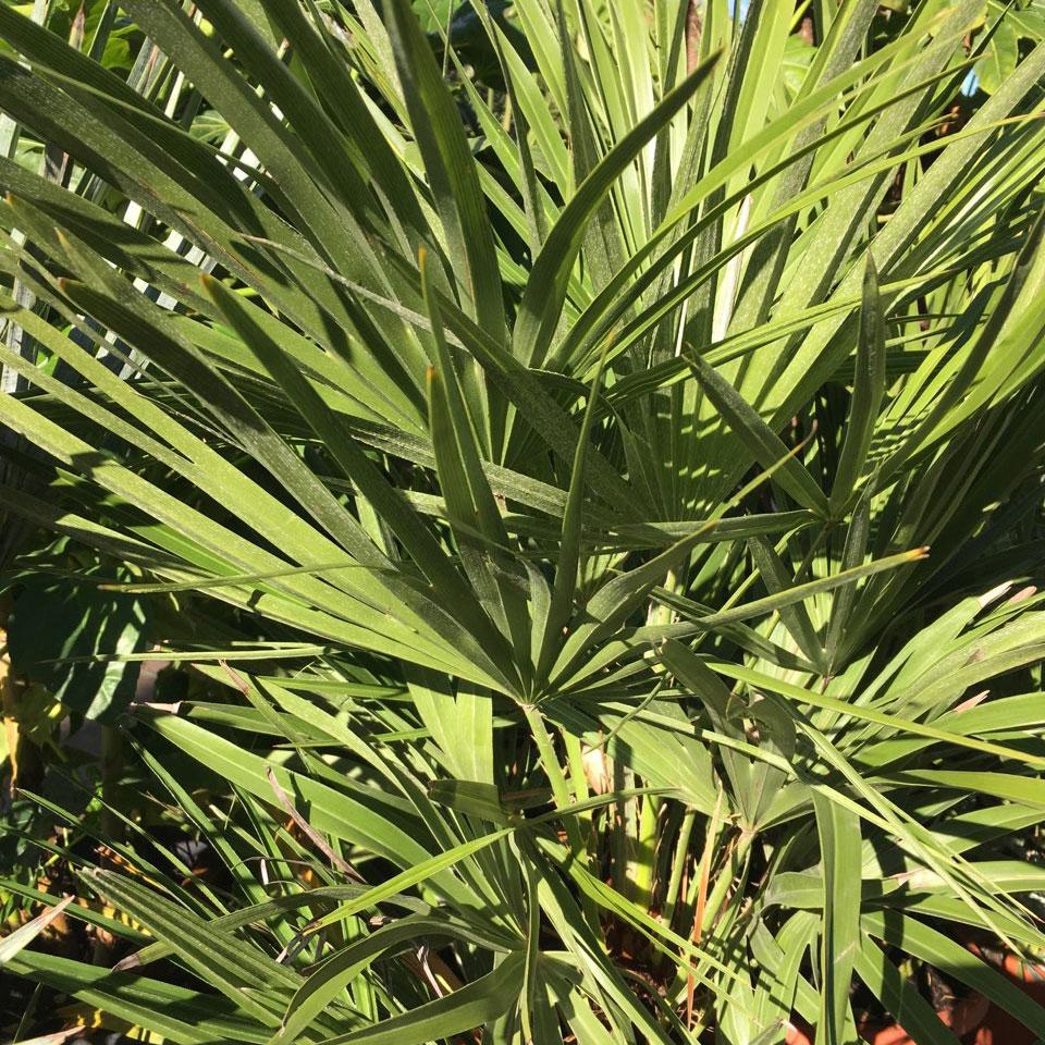 Palmier Chamaerops Humilis Arcachon