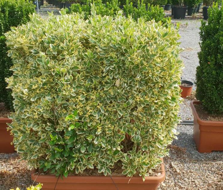 jardiniere-euonymus-bravo