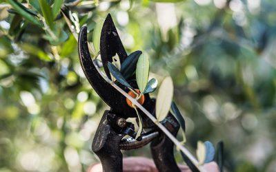 Quand et comment tailler un olivier facilement?