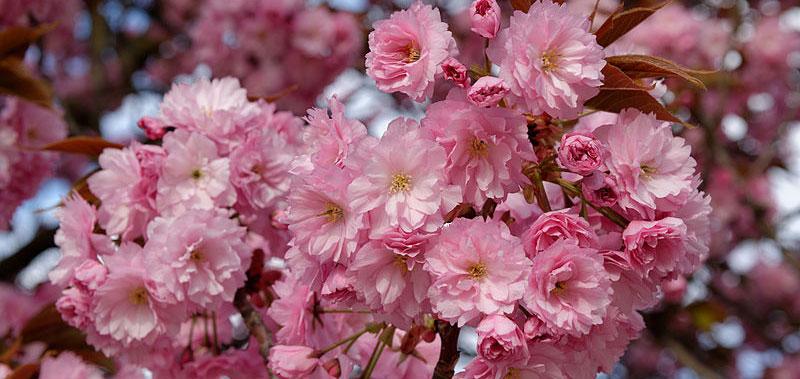 2-Cerisier-Japon-kazan-fleurs