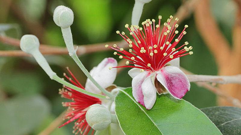 4-goyavier-bresil-fleur