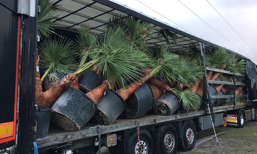 7-arrivage-palmiers-arcachon