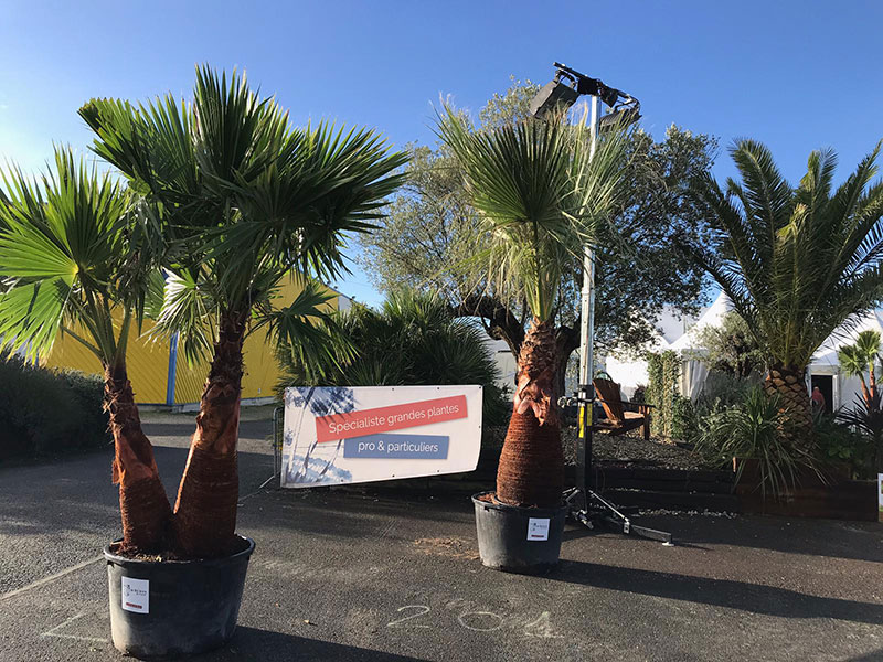 2-Washingtonia-Robusta-Filifera