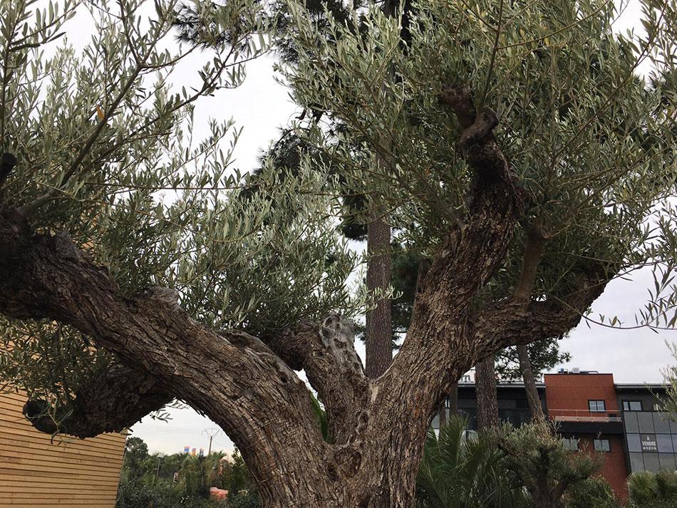 grand-olivier