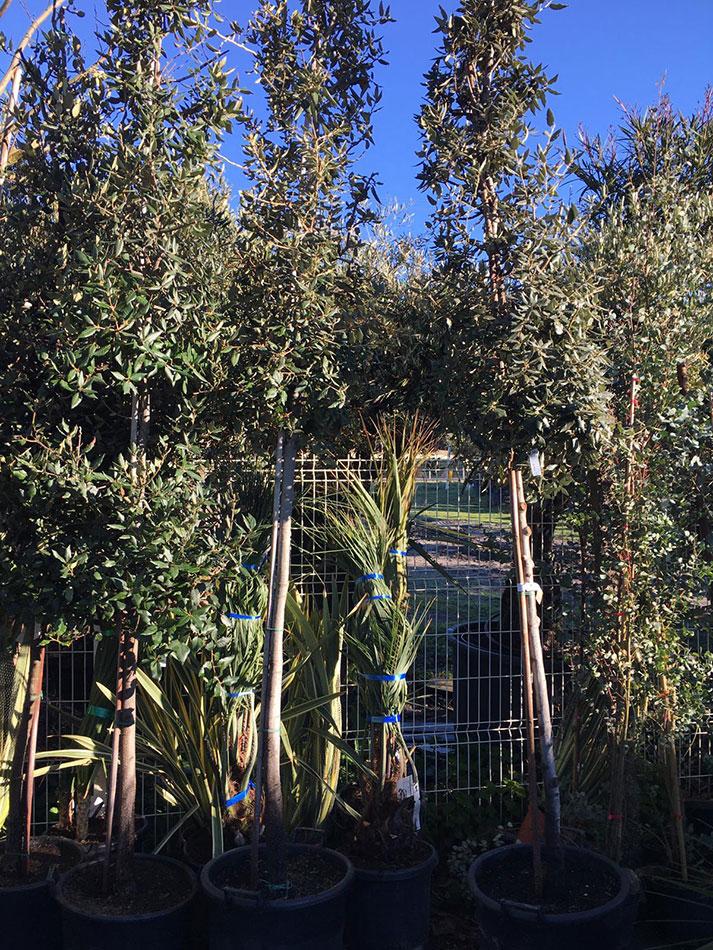3-Chenes-eucalyptus