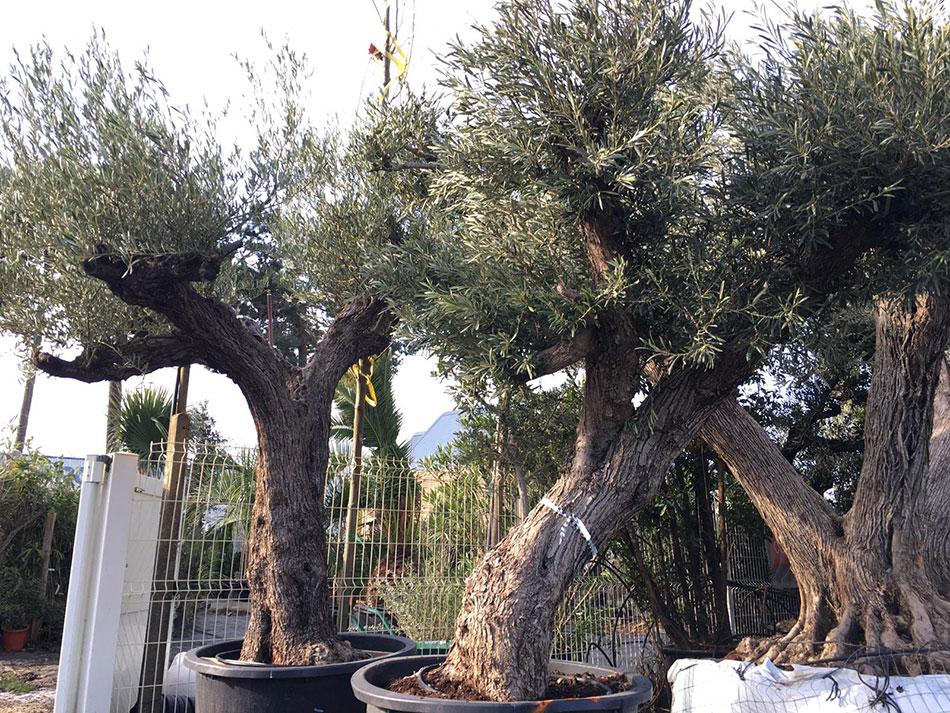 4-oliviers
