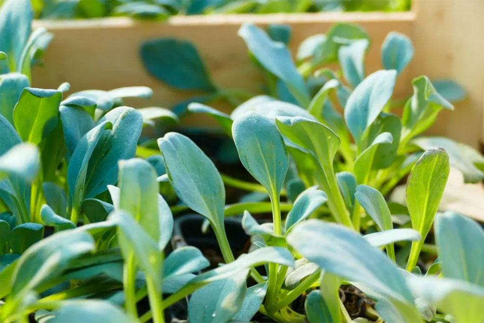 Partenariat avec La Serre ô Délices: Nous rapprochons les huîtres végétales et les plantes aromatiques de chez vous!