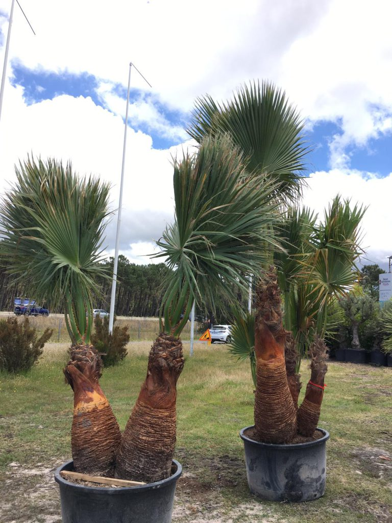 3-Washingtonia-Filifera-Robusta-Filibusta