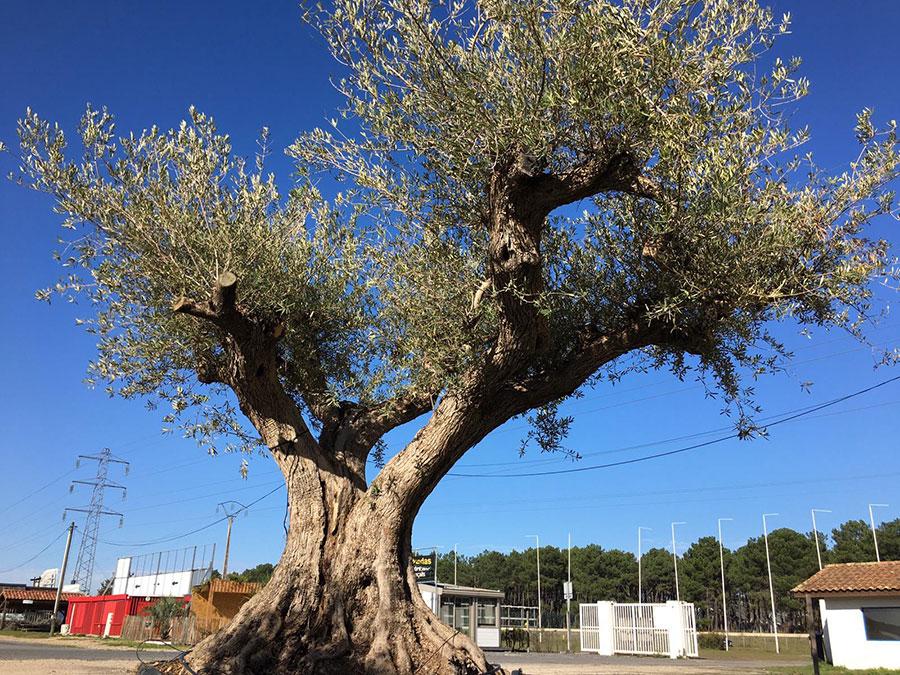 1-Arrivage-oliviers-pluri-centenaires
