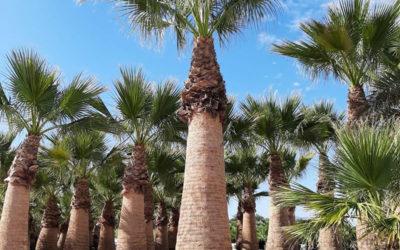 Palmier washingtonia robusta VS palmier washington filifera ? Et si le washingtonia filibusta était la solution ?