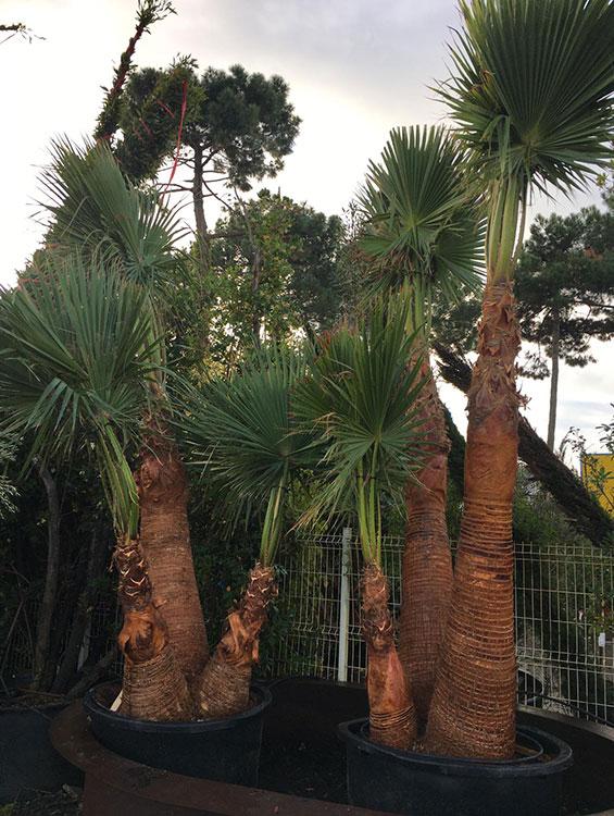 palmier-Washingtonia-Robusta