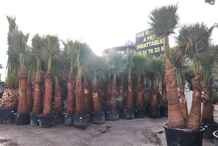 palmiers-Washingtonia-Filifera-Filibusta