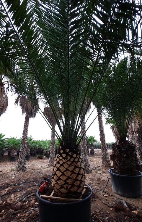 palmiers-nettoyes-avec-soins
