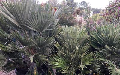 Envie d'ajouter une touche tropicale à votre jardin ? Les palmiers et plantes pour massifs exotiques sont de retour dans votre jardinerie d'Arcachon !