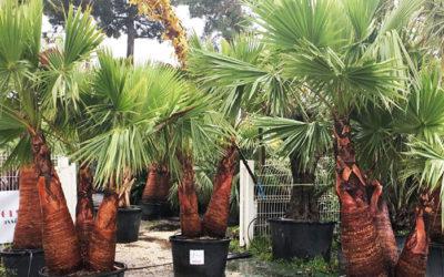 Vous ne trouverez plus de palmiers de Chine dans votre jardinerie d'Arcachon | On vous explique pourquoi