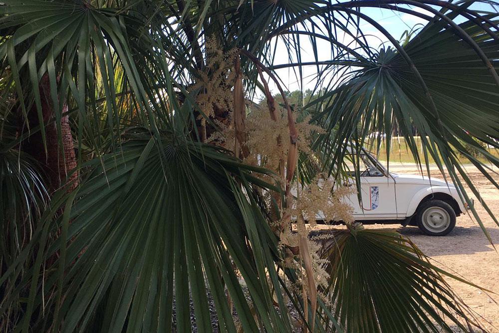 Pour le plus grand bonheur de vos yeux : venez admirer la floraison de notre palmier Washingtonia robusta !