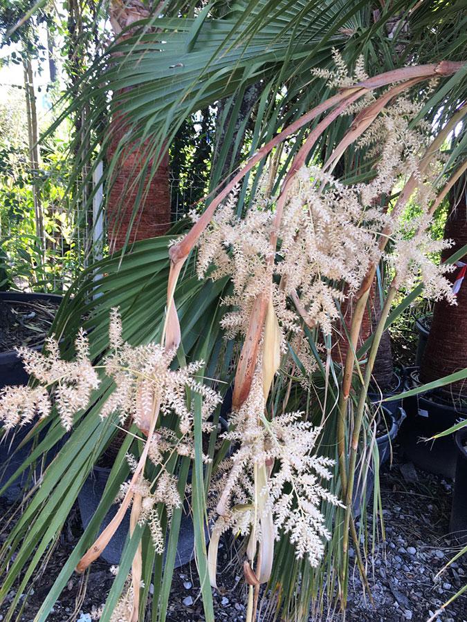 palmier-jardinerie-fleur
