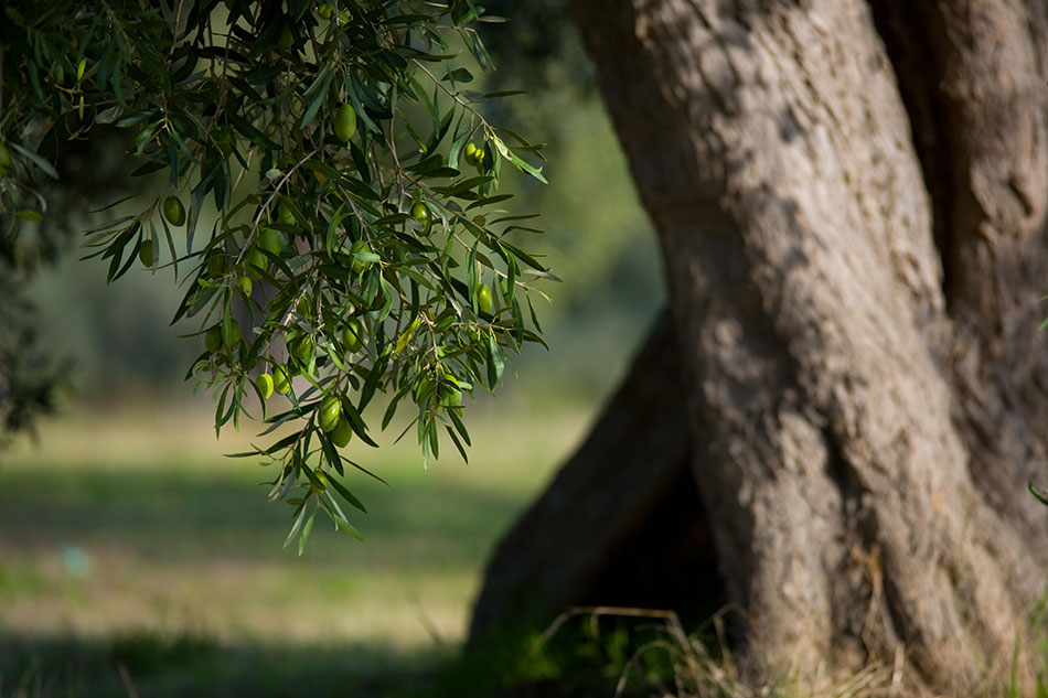 Tout ce qu'il faut savoir pour tailler un olivier