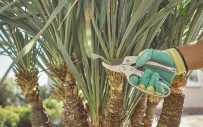 Palmes, fleurs, fruits… Faut-il tailler un palmier ?